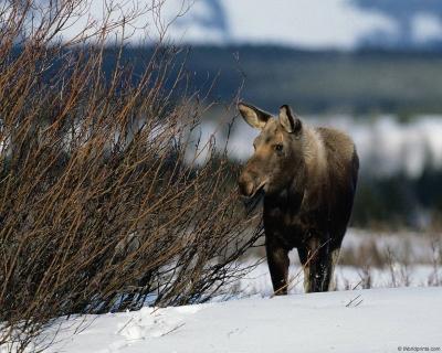 Охота на лося с лайкой (по чернотропу и мелкому снегу) многих копытных, обитающих